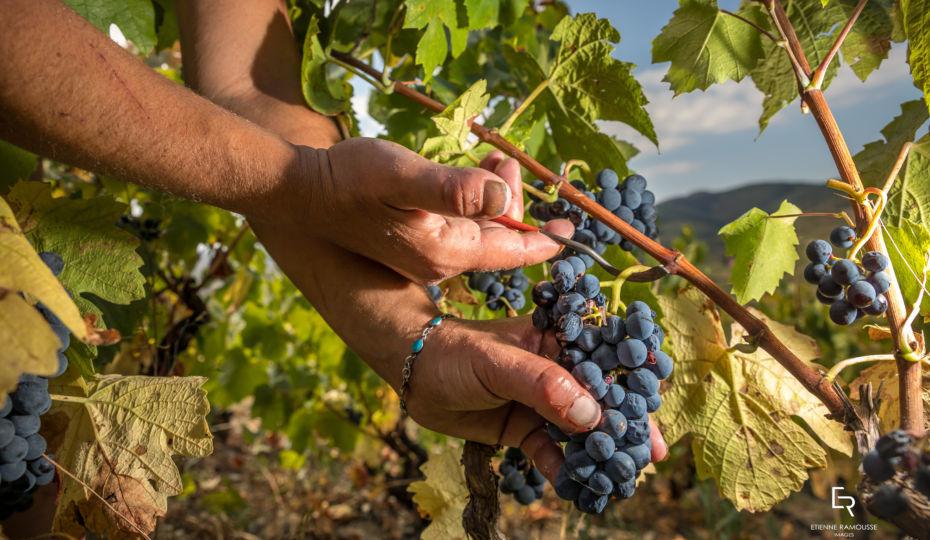 vendanges 2019 en Beaujolais - Vins Maison Jambon à Saint Lager