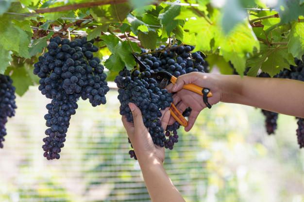 raisin-noir-pour-processus-vin_38076-91